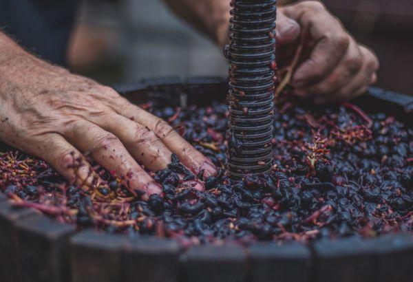 lavorazione uva